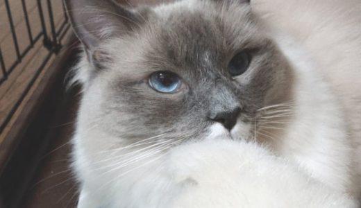 ラグドール(猫)との生活と一日の掃除の流れについて