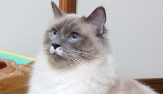 猫(ラグドール)の飼育費用・月予算の目安について
