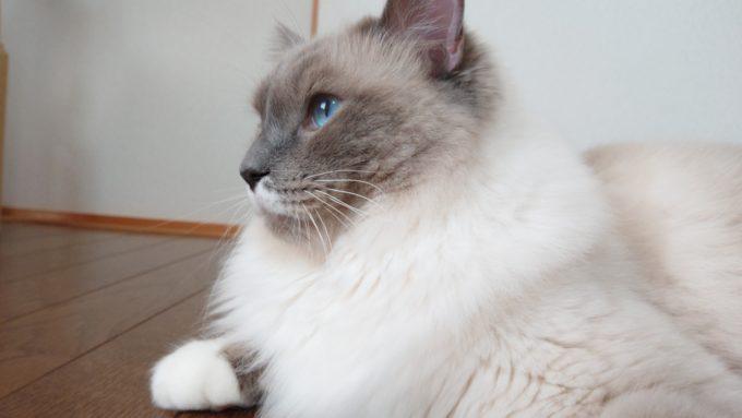 横向きのラグドール・ブルーポイントミテッドの猫。