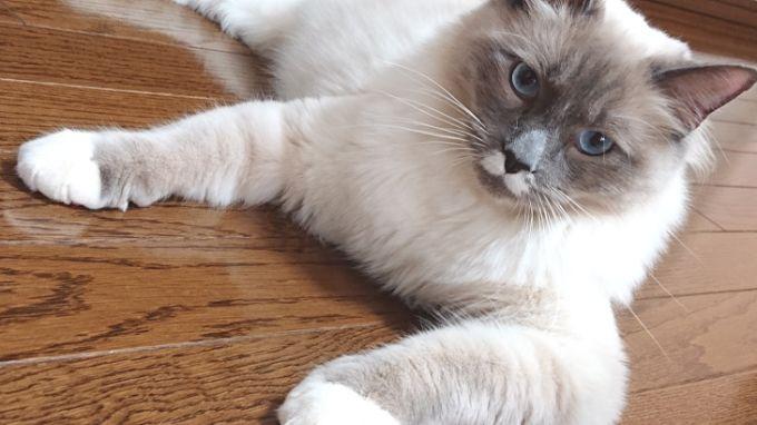 斜め横向きのプリューシュ。ラグドール・ブルーポイントミテッドの猫である。