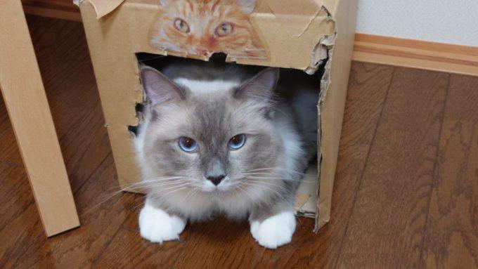 隠れ家から顔を出す猫。瞳孔が開いている。