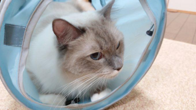 猫トンネルに入るラグドール。沢山遊んでストレスを解消している所。