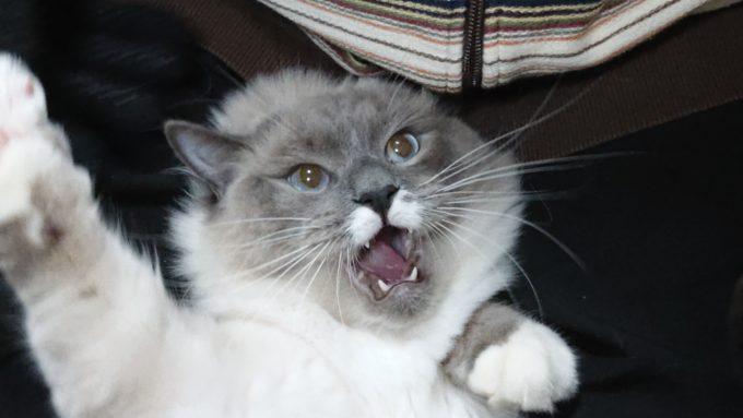 飼い主に抵抗するラグドールのプリューシュ。噛みつこうとしている。