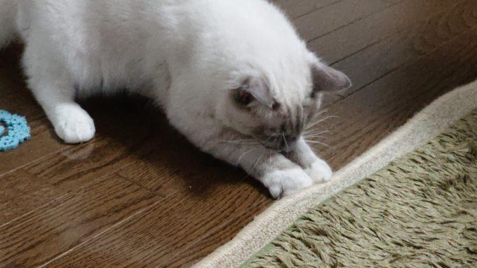 絨毯を噛むプリューシュ。床と絨毯との間に手を入れている。