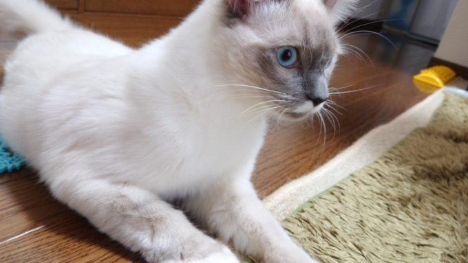 絨毯を噛む癖を直したプリューシュ。ラグドール・ブルーポイントミテッドの猫。