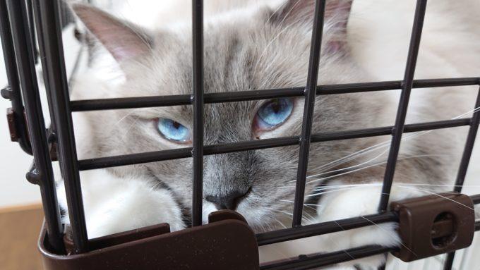 体調チェックの一環として、猫の目ヤニを見る。