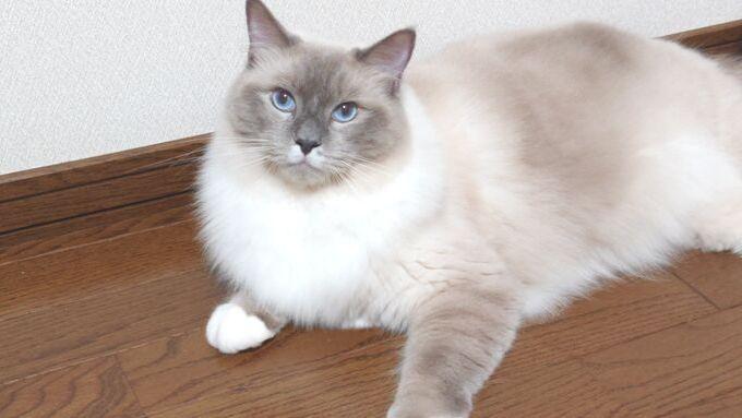 横たわるラグドール。ラグドールの特徴は青い眼である。