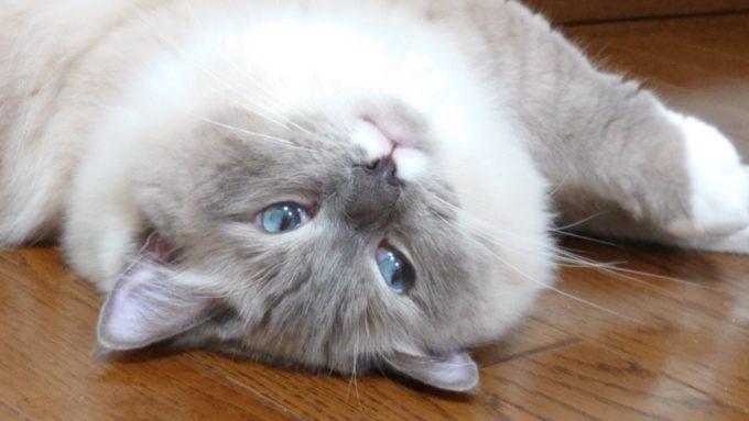不思議そうにこちらを見ている猫。何かを思案している顔。