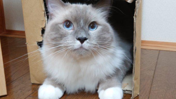 青い眼をしたラグドール。青い眼はラグドールの証。