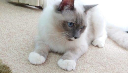 猫が絨毯を噛んだ!噛み癖を直すには