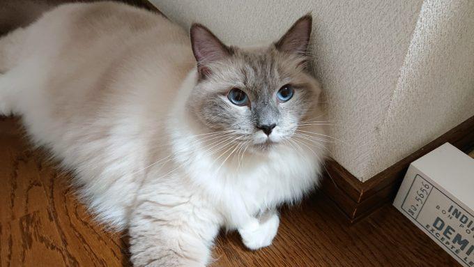 見上げる、ラグドール。青い眼がラグドールの特徴。