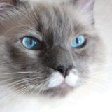 ラグドールのプリューシュ。ブルーポイントミテッドの猫。