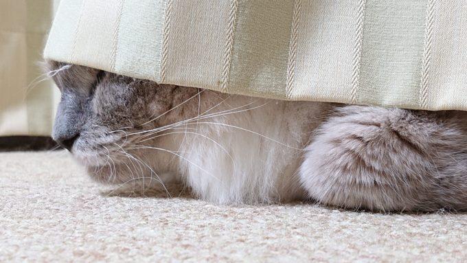 カーテンの下で眠る猫。隙間から見えている。