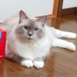 箱の横に身を寄せるラグドール。ブルーポイントミテッドの猫。