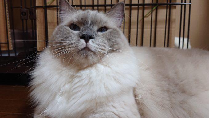 ふんぞり返る猫。顎を上に向けて偉そうにしている。