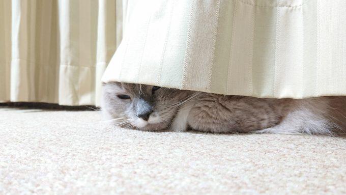 カーテンの下に隠れるプリューシュ。少し眠そうにも見える。