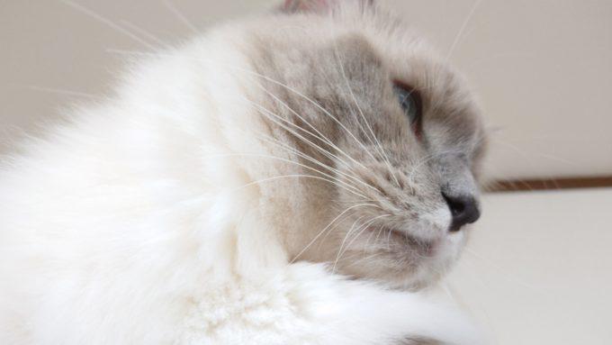 ケージの天井から見下ろす猫。ラグドール・ブルーポイントミテッドのプリューシュの画像。