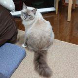 振り向いたラグドール。ブルーポイントミテッドの猫。
