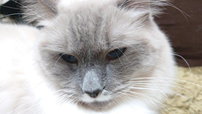 目つきを鋭くして起こっている猫。