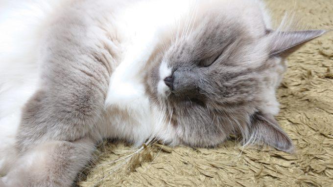 眠りこけるラグドール。ブルーポイントミテッドの猫。