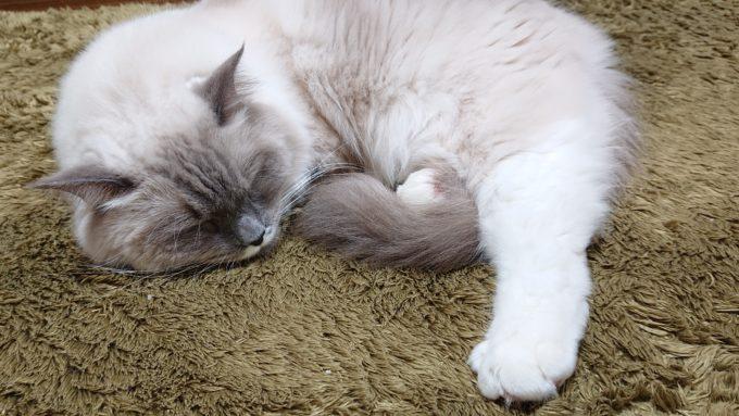 眠るラグドール。前足を隠す様にして眠っている。