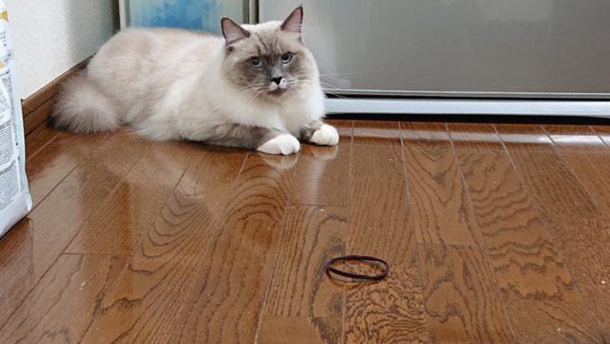 ヘアゴムと猫。冷蔵庫の前に佇んでいる。