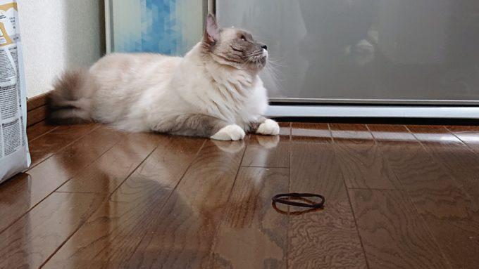 ヘアゴムで遊ぶ猫。そっぽを向くラグドール。