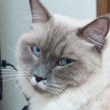 いたずらプリューシュ。遊び好きな猫。