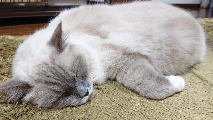 前足を丸めて眠るラグドール。