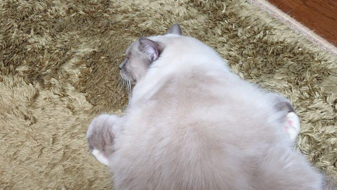 新しく始めた寝方。前足を丸めて眠っている。