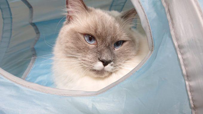 猫トンネルで遊ぶプリューシュ