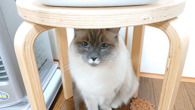 椅子の下から見上げるプリューシュ。