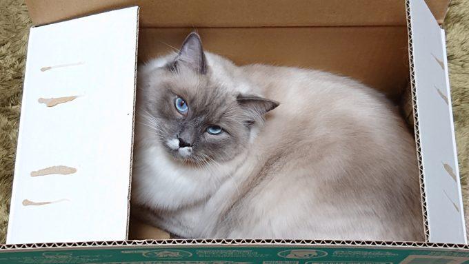 箱の中から見ているプリューシュ。ラグドール・ブルーポイントミテッドの猫。
