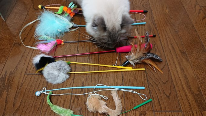 猫じゃらしの匂いを嗅ぐ猫。飼い主の邪魔をしている。