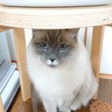 椅子の下から見上げてくるプリューシュ。狭い所に逃げ込むのが好き。。