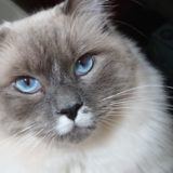 カメラ目線のプリューシュ。ラグドール・ブルーポイントミテッドの猫。
