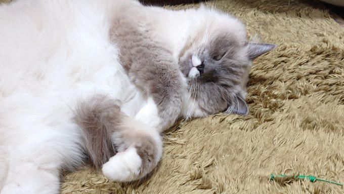 険しい顔で眠るプリューシュ。ラグドール・ブルーポイントミテッドの猫。