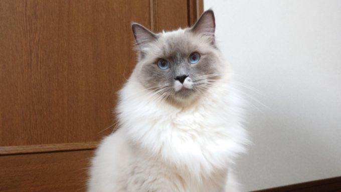 見つめるプリューシュ。ラグドール・ブルーポイントミテッドの猫。