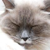 猫をブリーダーから買うのは意外と難しい?その理由とは