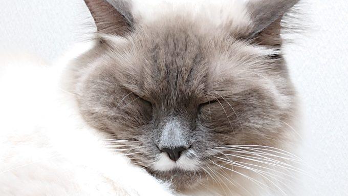 顔をしかめるプリューシュ。ラグドール・ブルーポイントミテッドの猫。