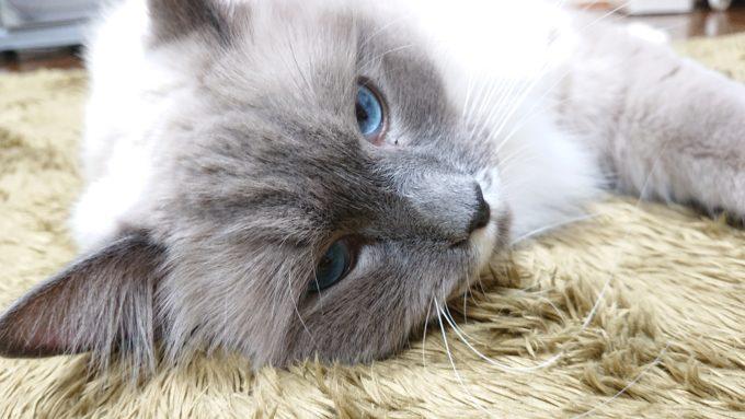 喧嘩前のプリューシュ。勝ち気なラグドール・ブルーポイントミテッドの猫。