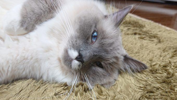 ぼんやりプリューシュ。ラグドール・ブルーポイントミテッドの猫。