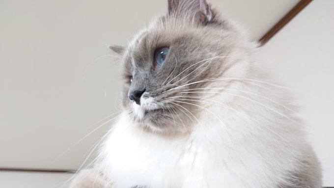 ケージの上から下を見るプリューシュ。ラグドール・ブルーポイントミテッドの猫。