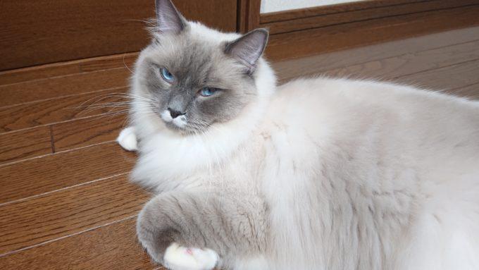 考え込むプリューシュ。ラグドール・ブルーポイントミテッドの猫。