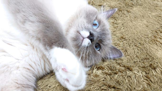 「マジで引く」プリューシュ。ブルーポイントミテッドの猫。