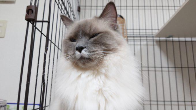 難しい顔をしているプリューシュ。ラグドール・ブルーポイントミテッドの猫。