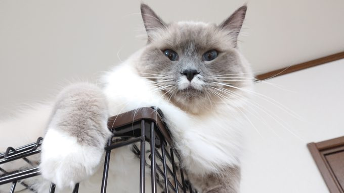 大事な事を教えるプリューシュ。ラグドール・ブルーポイントミテッドの猫。