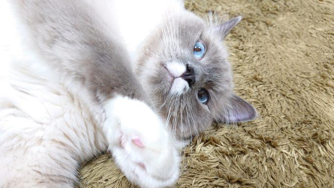 恐れおののくプリューシュ。ラグドール・ブルーポイントミテッドの猫。