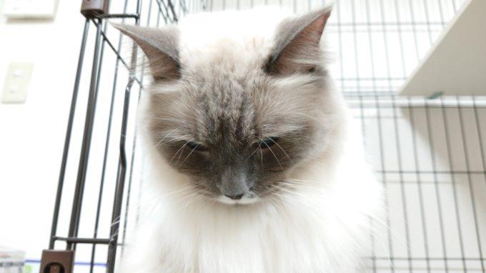 ガッカリ、プリューシュ。ラグドール・ブルーポイントミテッドの猫。