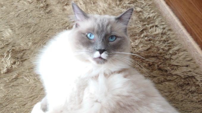 怖がるプリューシュ。ラグドール・ブルーポイントミテッドの猫。